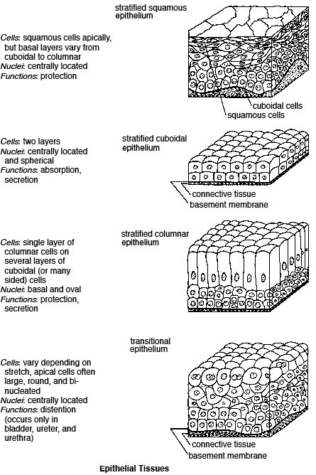 Printables. Epithelial Tissue Worksheet. Mywcct Thousands