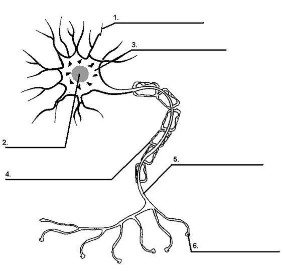 Printables. Neuron Worksheet. Mywcct Thousands of