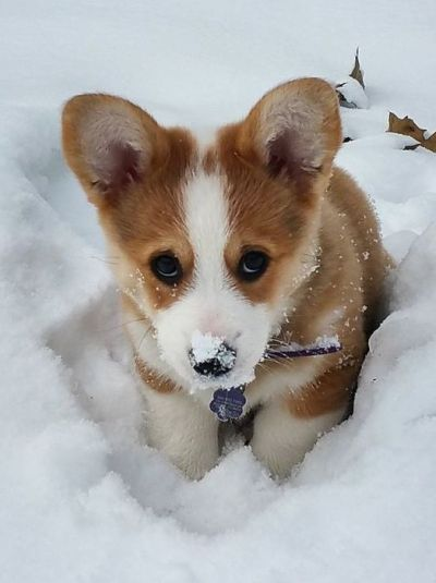 22 Times Corgi Puppies Were Just The Cutest - Society19