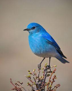 Resultat d'imatges de pájaros azules