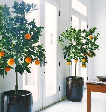 YES: indoor orange trees!: