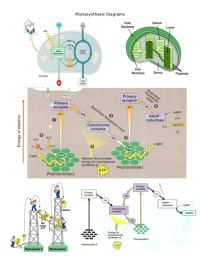 photosynthesis and cellular respiration worksheet - Google ...