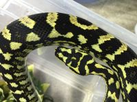 For Sale IJJ male, jungle female carpet pythons and ...