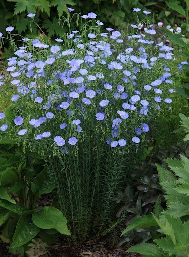 Flax - one hearty plant that come up year after year - and the deer won't eat it! Sun/Part Sun, Zones 5-9, Perennial, 2 x 2 feet. Blooms late summer.: