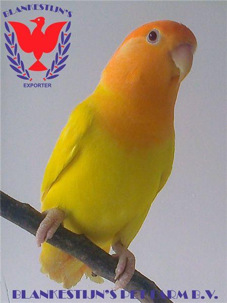 orange face opaline lutino peach face lovebird  Birds