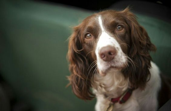 cost of a springer spaniel puppy
