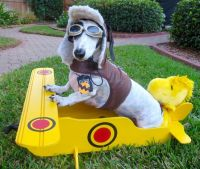 Snoopy Costume | Crusoe the Celebrity Dachshund ...