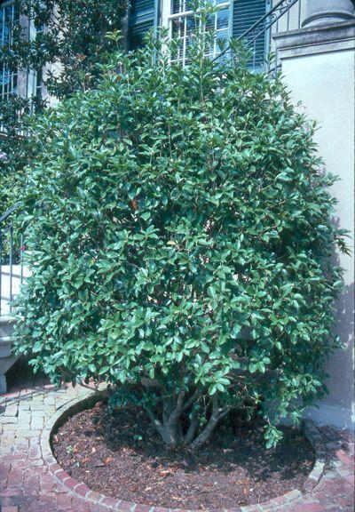 "sweet olive. "" dense growth"
