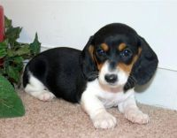 photos of dachshunds   Dachshund Puppies For Sale ...