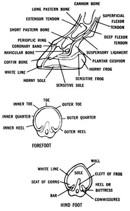 know your anatomy, know your horse. Good cheat sheet for