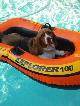 Imagini pentru basset hound can't swim