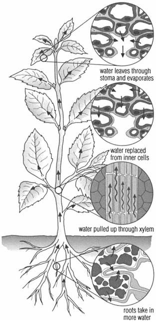 transpiration The loss of water from a plant by