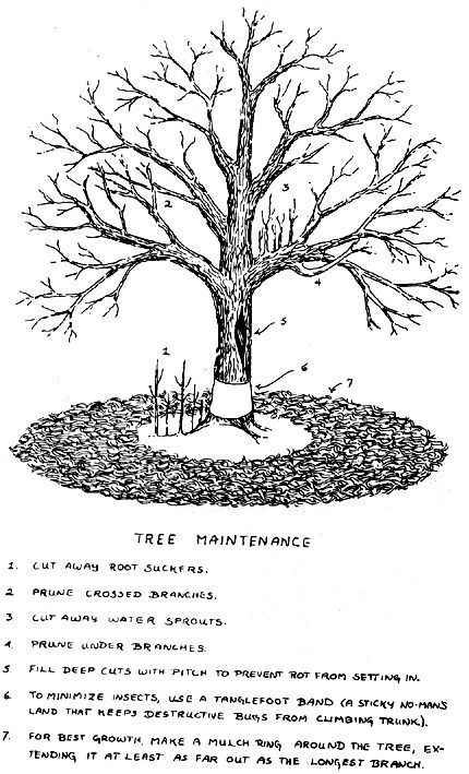 Fruit trees, Trees and Pears on Pinterest