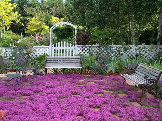 BULK 1,000 Seeds, Creeping Thyme, Walk on Me, Perennial Flower, Lemon Scent: