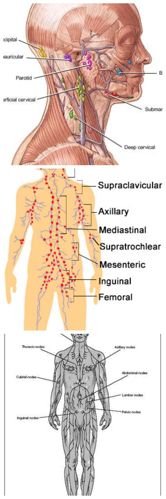 Lymph Nodes : Location Pictures Types Significance ...