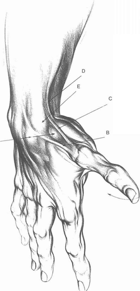 Hand anatomy, Drawing classes and Anatomy on Pinterest