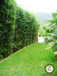 Bamboo Privacy Hedge | bamboo hedge. | landscape ...