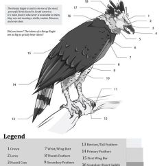 Eagle Anatomy Diagram Ba Xr6 Stereo Wiring Engine Bald Thebuffalotruck Com Bing Images Body Drawings