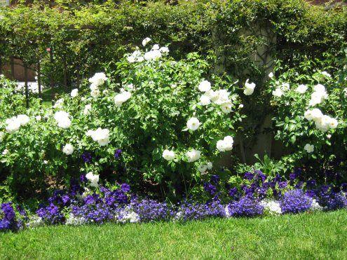 """white """"iceberg"""" roses and blue"""