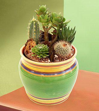 Cactus Succulent Bargain At Wally World Garden Helper Cactus