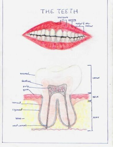 Anatomy Dental and Teeth on Pinterest