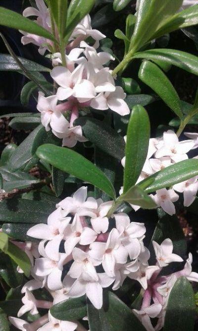 Il genere Daphne, che comprende numerose specie arbustive, è ideale per la coltivazione in luoghi freschi e ombrosi