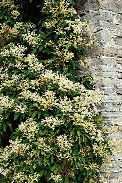 Plants For Shade, Climbing Hydrangea And Gardens On Pinterest