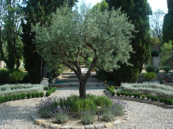 olive trees with borders of rosemary