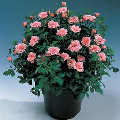 Guide to growing miniature roses indoors Gardening