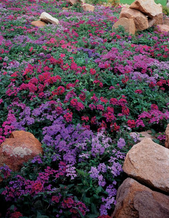 purlple verbena heat and drought
