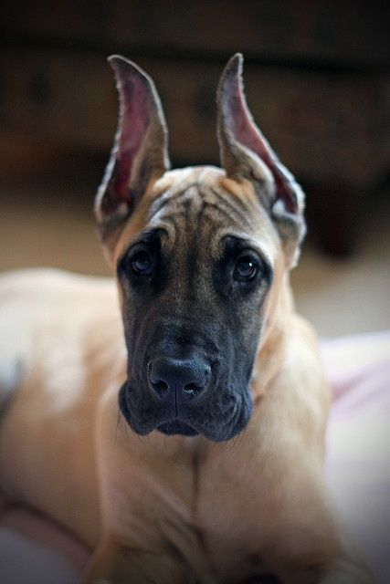 Great danes Ears and Coloring on Pinterest