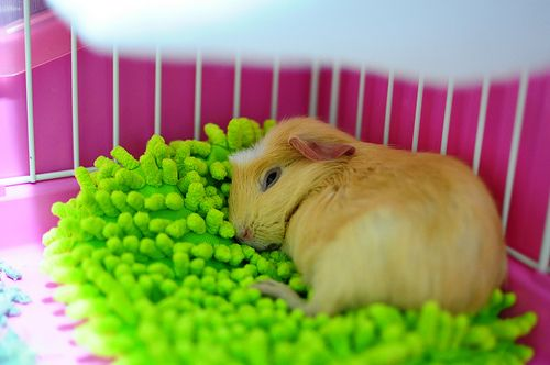 Guinea pigs - the perfect pet! Great piggie bed made from duster mitt.