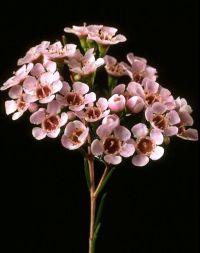 pink wax flower   Flowers   Pinterest   Blush, Lighter and ...