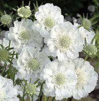 Scabiosa caucasica 'Miss Willmott' | Perennial & annual ...
