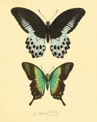 Green Butterfly art print poster antique prints Nature ...