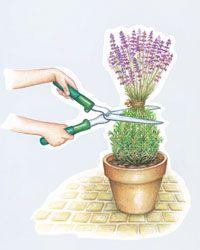 Lavendel schneiden - Mein schöner Garten; 1/3 Rückschnitt nach Blüte; 2/3 im Frühjahr: