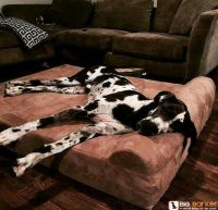 Dog beds, Great danes and Beds on Pinterest