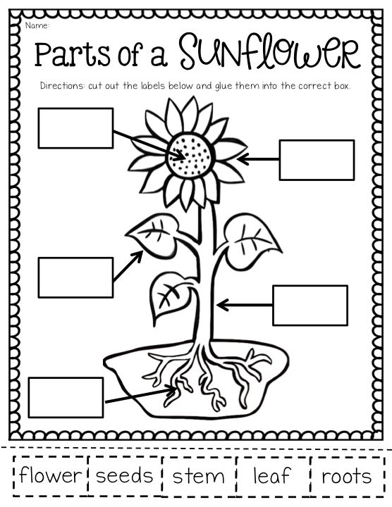 Sunflowers, Parts of a plant and First grade on Pinterest