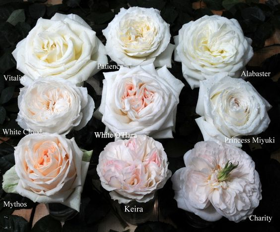 names of blush roses  Google Search  Floral Art