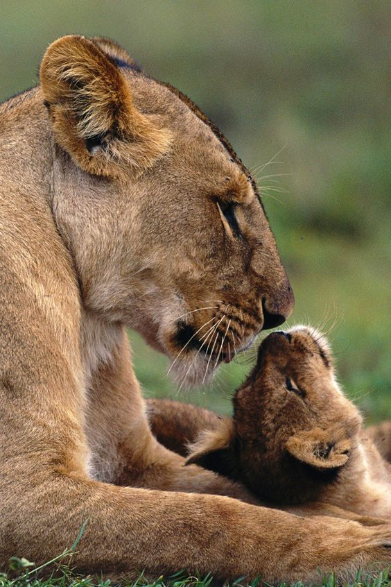 Lioness With Cub Beautiful What Mother Nature, Gives