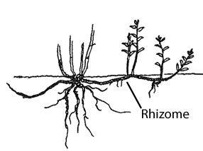 rhizome diagram - Google Search   organisational metaphors ...