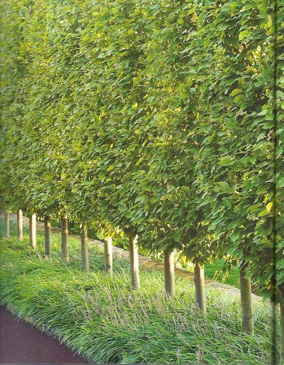 privacy trees - hornbeams