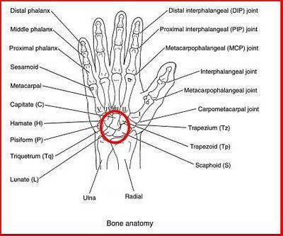 Hand And Wrist Bones Diagram Hand Bones Names Wiring