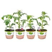 Bonnie Plants Organic 5 in. Patio Tomato Assortment (4