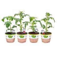 Bonnie Plants Organic 5 in. Patio Tomato Assortment (4 ...
