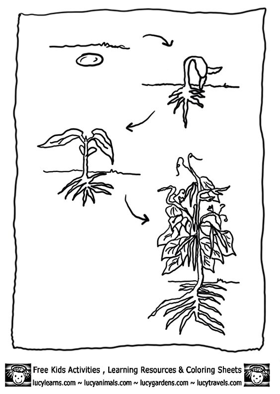 bean-plant-lifecycle-bean-coloring-page-1.gif (603×848