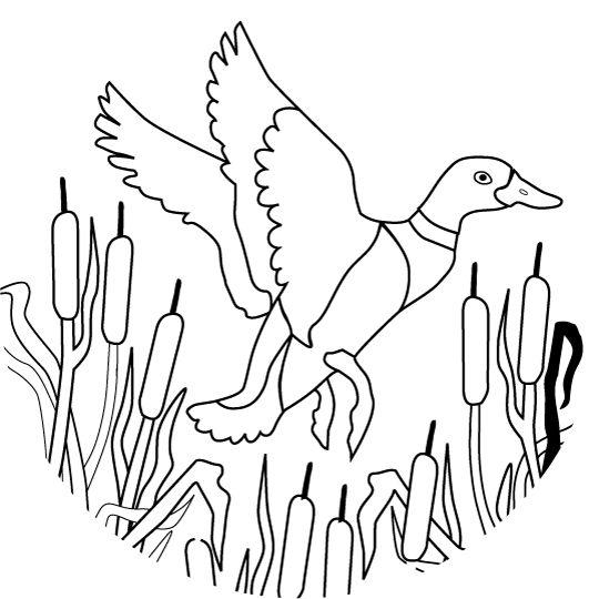 Ducks, Mallard and Church news on Pinterest