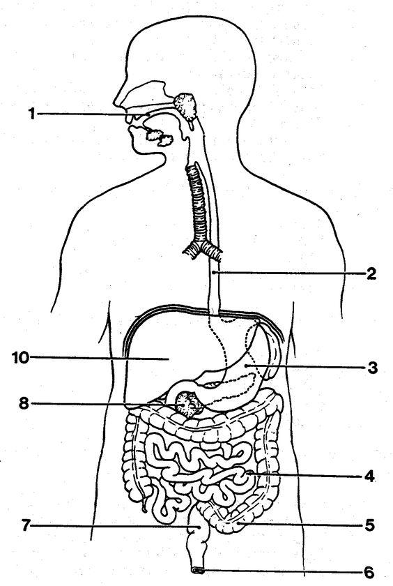 http://anatomybodyblog.com/images/3102-blank-digestive