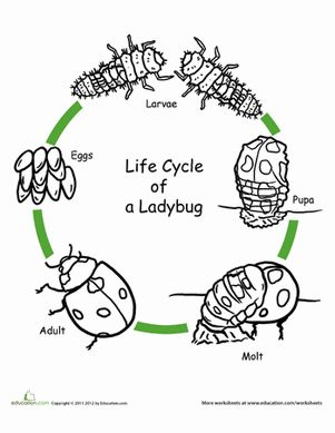 Life cycles, Ladybugs and Worksheets on Pinterest