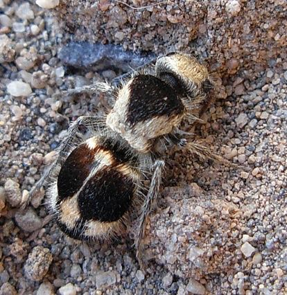 """The Panda Ant is actually a wingless wasp and is related to the Red Velvet Ant or """"cow killer"""" because it's sting is strong enough to subdue a cow.:"""